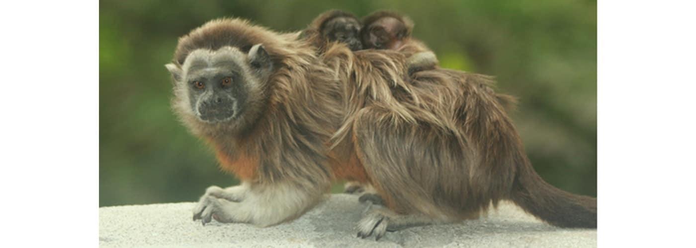 Mono tití gris