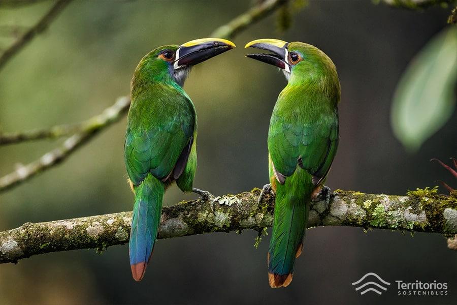Tucanetas-esmeralda