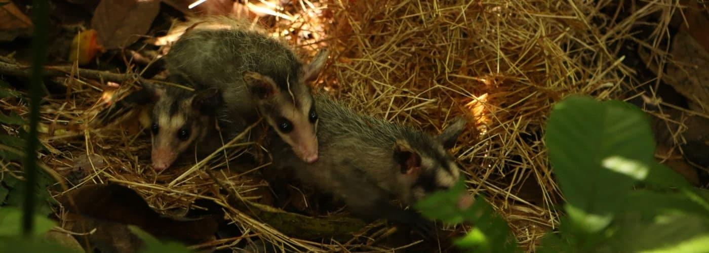 ZARIGÜEYA marsupial