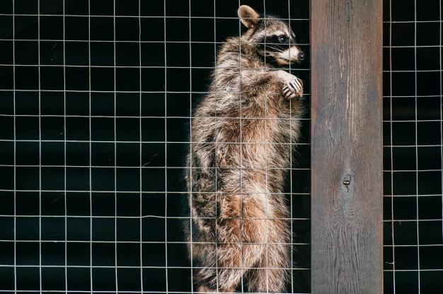 lastima-mapache-mirando-traves-jaula-zoologico_149066-2794 (1)