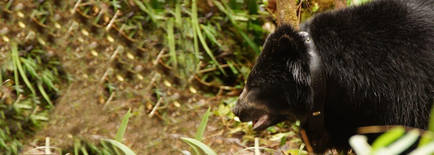 biodiversidad-osoanteojos-chingaza