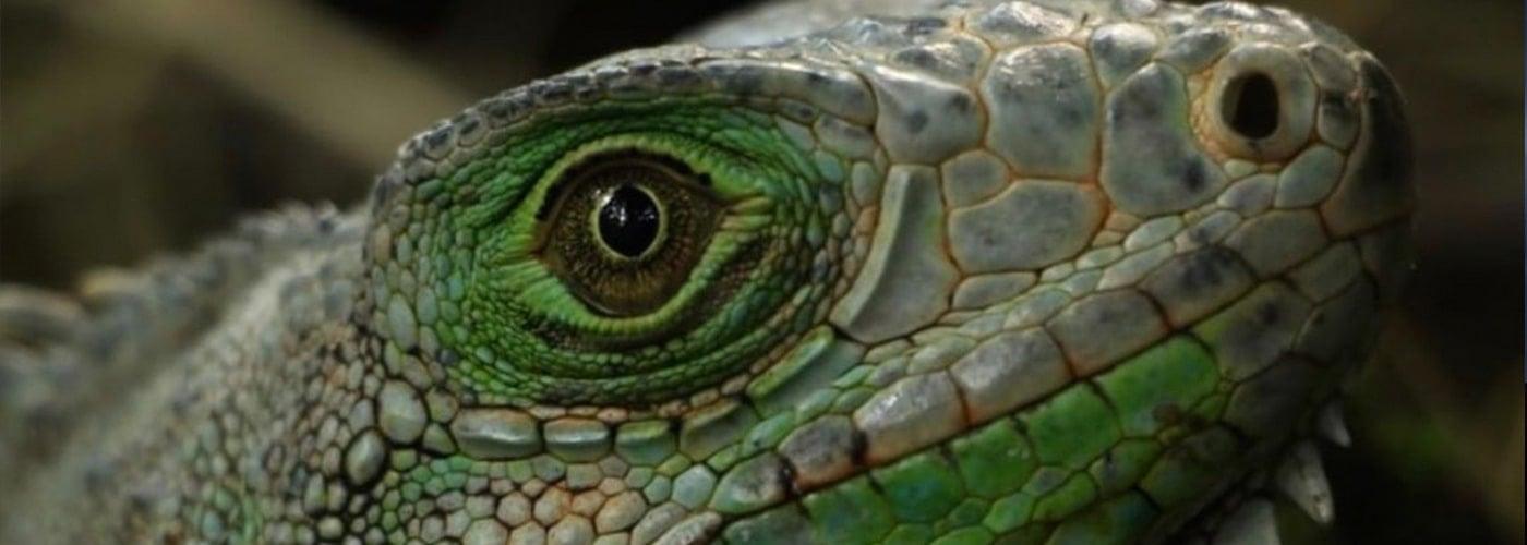 iguana-corantioquia-fauna
