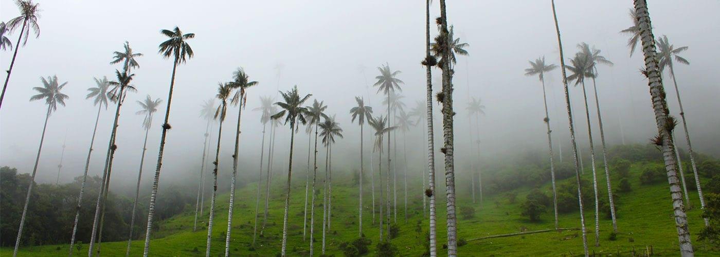 El árbol de Palma de Cera