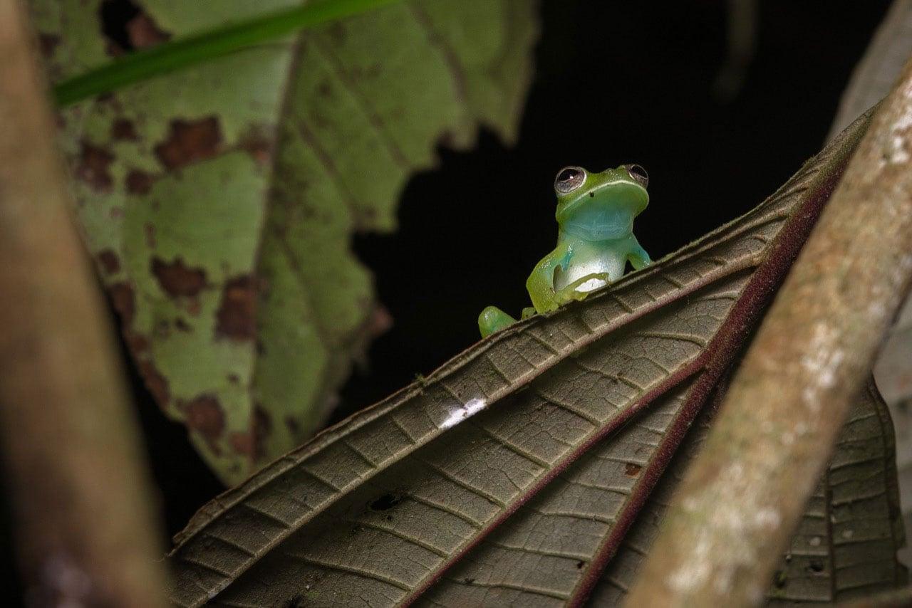 espadarana prosoblepon, biodiversidad