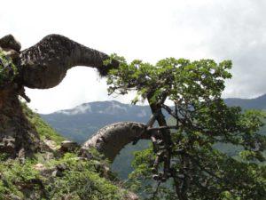 Ceiba barrigona (Cavanillesia chicamochae)